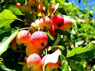 1 crabapple jelly - crabapples on tree