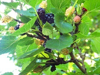 2- mulberry jelly - mulberries on tree